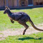 有袋類!コアラとカンガルーの違いとは!?
