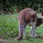 筋肉が凄い!カンガルーの足の構造について!