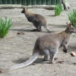 オーストラリアで会えるカンガルーの種類は何がいる!?
