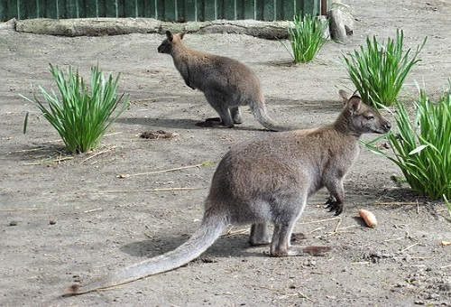 カンガルー オーストラリア 種類