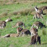 オーストラリアは野生のカンガルーが生息している!数はどれくらいいるの?