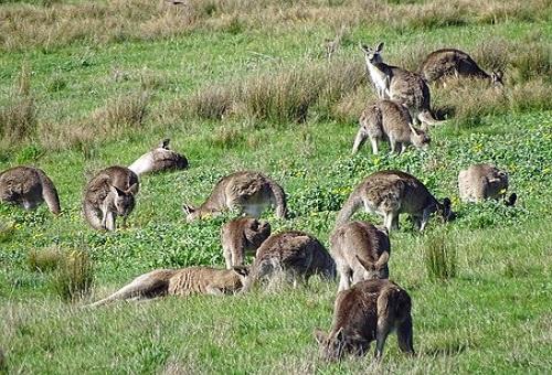 カンガルー オーストラリア 野生 数