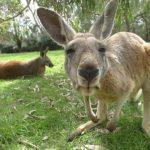 カンガルーとエミューがオーストラリアの国章になってる理由は!?