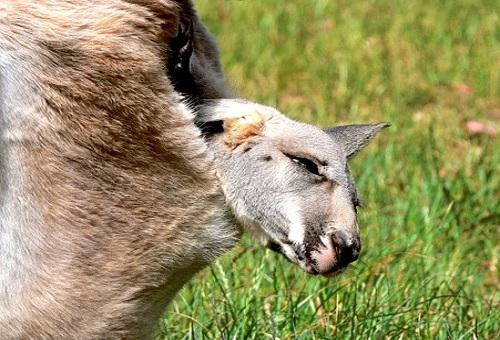 カンガルー 赤ちゃん 生態