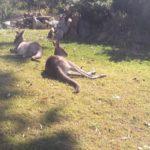 野生のカンガルーは何を餌にしているの!?