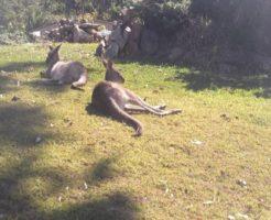 カンガルー 野生 餌