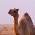 ラクダのまつげの長さや長い理由とは!?