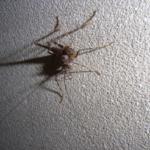 カマドウマの幼虫や大きさや特徴とは!?