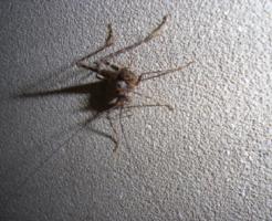 カマドウマ 幼虫