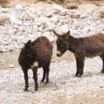 ロバと馬の交配種「ラバ」や「ケッティ」はどんな動物!?