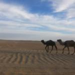 ラクダのすごい能力!なぜ砂漠で生きていけるの!?