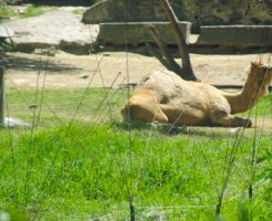 ラクダ 飼育 日本 値段