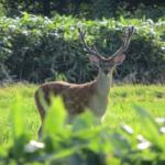 鹿のジャンプ力について!どれくらいの高さを飛べるの?