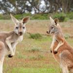 カンガルー(有袋類)はなぜオーストラリアに生息しているの!?