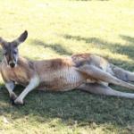 カンガルーって草食なのになぜ筋肉がすごいの!?
