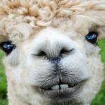 アルパカの毛の特徴や暖かさは?カシミヤとアンゴラとの違いは?