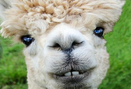 アルパカ 毛糸 特徴 暖かさ