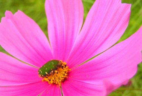 カナブン 幼虫 採集
