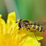 ミツバチとスズメバチとアブの見分け方について!