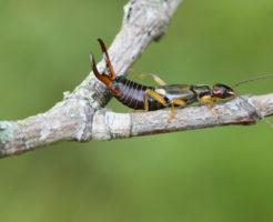 ハサミムシ 幼虫 毒