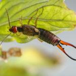 ハサミムシの幼虫を駆除する方法とは!?