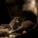 コウモリは一体どこから超音波を出しているの!?