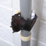 家の玄関にコウモリの糞が!対策方法とは!?