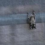 コウモリの冬眠中の体温はどうしているの!?