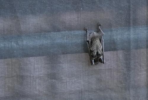 コウモリ 冬眠 体温