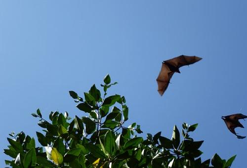 コウモリ 飛ぶ 高さ