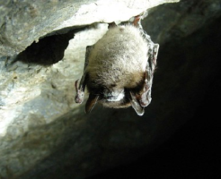 コウモリ 種類 北海道 生息地 冬眠