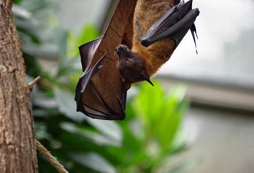 沖縄 コウモリ 種類 巨大