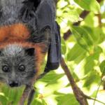 コウモリによる感染症の症状とは?日本のコウモリでも感染症になる?
