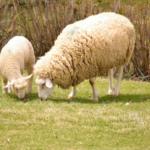 羊の出産の時期は!?1回の出産に何匹産むの!?