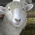 クローン羊「ドリー」の作り方とは?寿命はどれくらい?