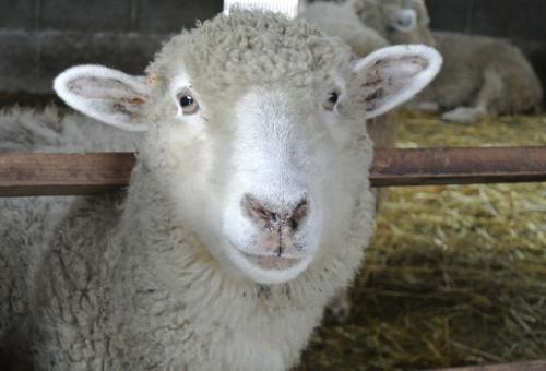クローン 羊 ドリー 作り方 寿命