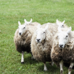 仲間意識が強い!?羊の習性とは?