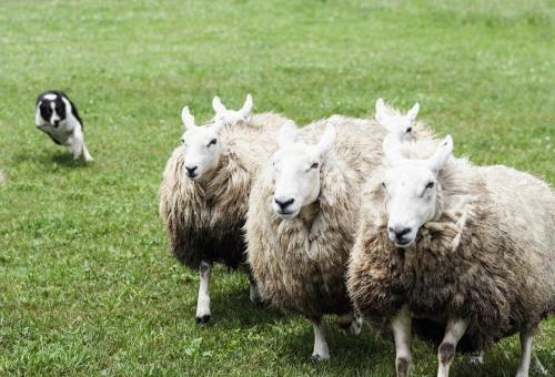 羊 習性 仲間