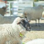 羊の種類で黒色と白色の違いって何!?