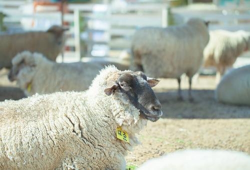 羊 黒 白 違い