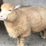 羊をの数える単位は「1匹」?「1頭」?