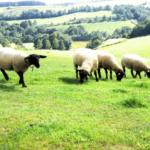 羊の種類!顔が黒い「サフォーク」ってどんな羊!?