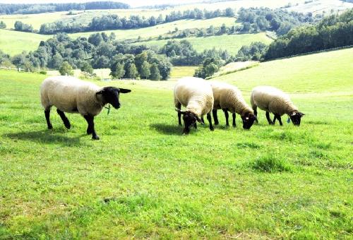 羊 種類 黒 顔