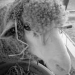 オーストラリア・メリノってどんな種類の羊!?分布は!?
