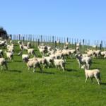 羊は人間の顔を識別できる!?羊の能力とは?