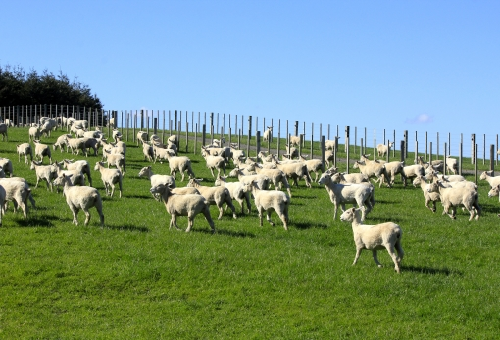 羊 顔 識別