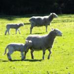 羊の出荷の時期とは!?