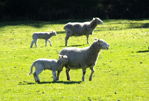 羊 出荷 時期