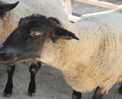 羊 目 瞳孔 色