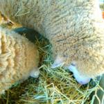 羊が食べる餌の種類とは!?